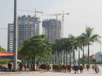 Bò giữa... thủ đô (by Hồng Quang)